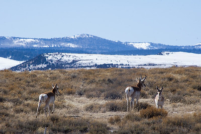 31218-pronghorns-900@2x