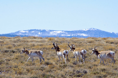 22618-pronghorns-900@2x