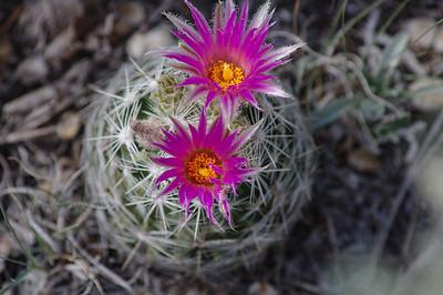 61321-cactusflowers-900@2x