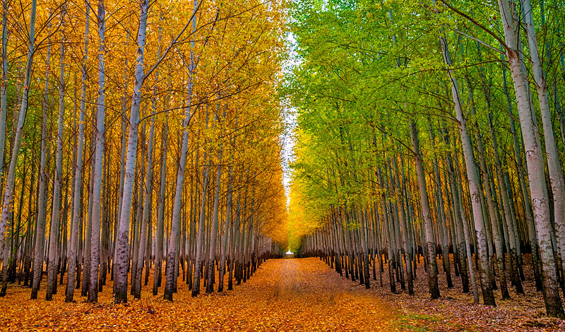 Country Road Leads Through Tree Farm in the Fall