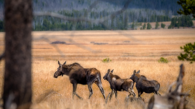 Cow moose and two calfs walk into a grass field