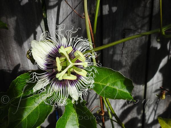 Flowering Passion