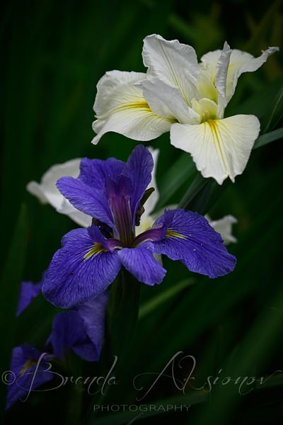 Iris Pair