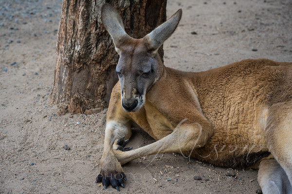 Resting Roo