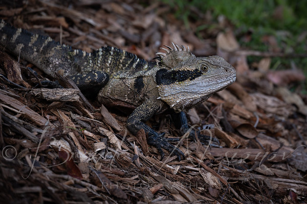 Water Dragon Sloping About