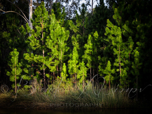Cinematic Pines