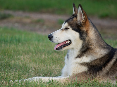 30 July 2013. My husky, called Aurora. We rescued her from a puppy after she was tortured & abandoned. She is now happy and with a caring family. She is also so handsome and photogenic. A must for the Oly OM-D and 75-300mm. f6.3, 1/125s :-)
