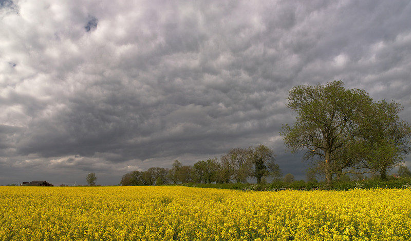 May 10 2011. Wonderful dark wild skies set against a nice rape oil crop. The turbulent deck of stratocumulus cloud contains elements of a 'Whales Mouth' effect. This is caused by cooler air sinking from an adjacent precipitation storm/cell rolling along in the lower levels and undercutting warmer air thus pushing it aloft. The combination of sinking and rising of different airmass densities creates this effect. Wild and beautiful. Captured with Olympus E5 & 12-60mm SWD - 2 images stitched.