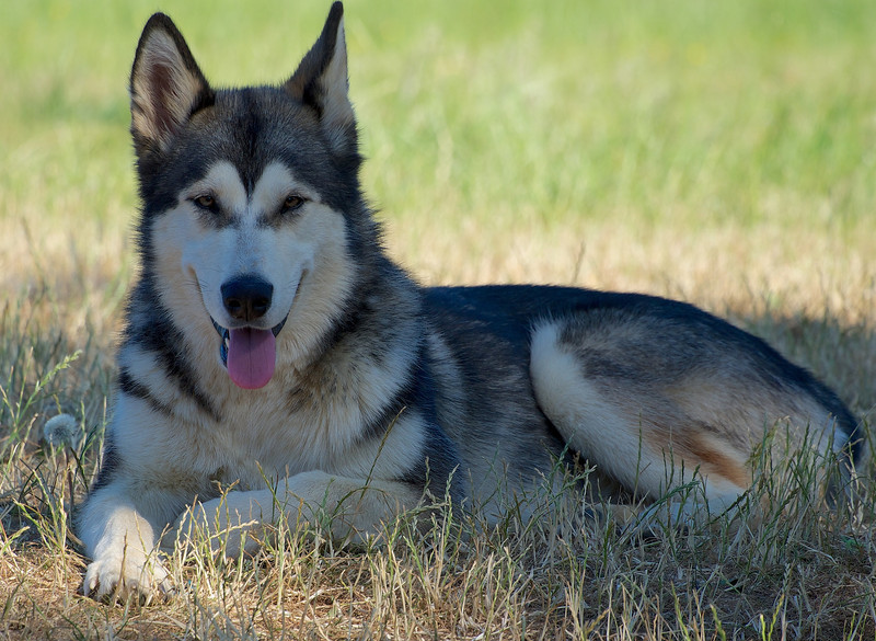 19 July 2013. My husky, called Aurora. We rescued her from a puppy after she was tortured & abandoned. She is now happy and with a caring family. She is also so handsome and photogenic. A must for the Oly OM-D % 75-300mm, f6.2, 1/400s :-)