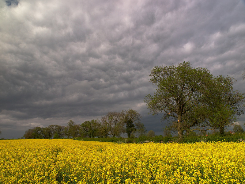 May 10 2011. Wonderful dark wild skies set against a nice rape oil crop. The turbulent deck of stratocumulus cloud contains elements of a 'Whales Mouth' effect. This is caused by cooler air sinking from an adjacent precipitation storm/cell rolling along in the lower levels and undercutting warmer air thus pushing it aloft. The combination of sinking and rising of different airmass densities creates this effect. Wild and beautiful. Captured with Olympus E5 & 12-60mm SWD.