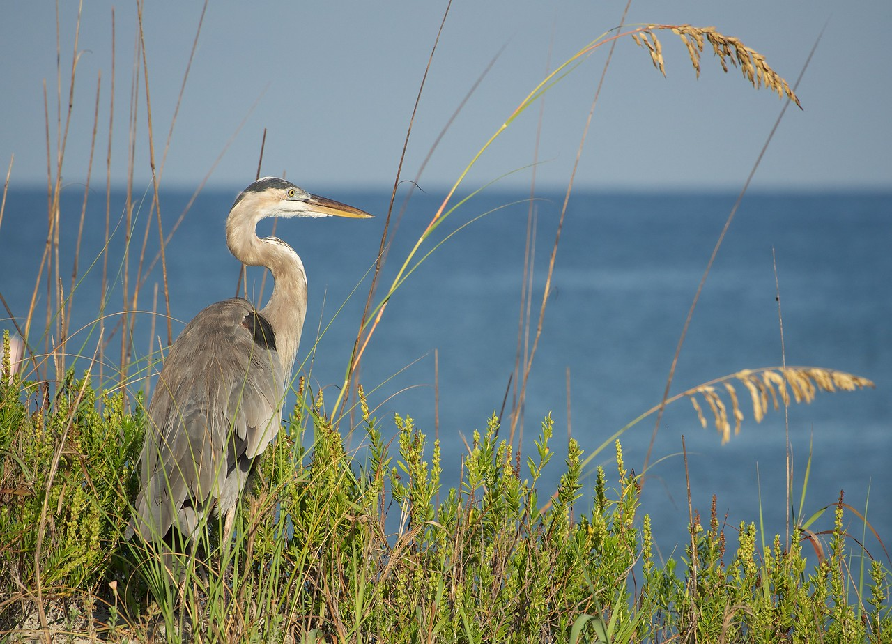 The resident Heron at Indiana Rocks. Frequent visitor to the the hotel I stayed in, right on the beach. Captured with the Olympus OM-D.