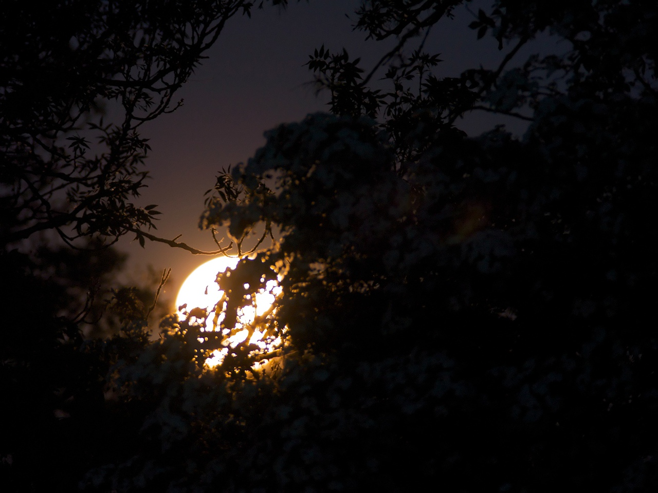 May 27 2010. Full 'milk' moon hiding behind the vegetation. Olympus E3, 90-250mm & x2 TC