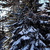 Beautiful pine tree covered with heavy fresh snow.   It's begining to look a lot like Christmas!