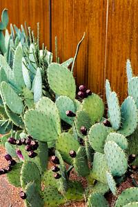 Cactus in Springdale, Utah