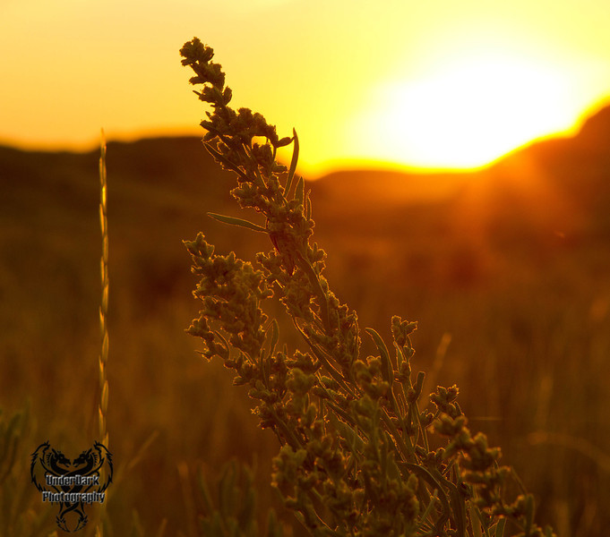 field of gold-6519
