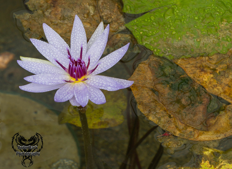 water lilly-5317
