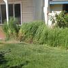 Overgrown (daisies?)