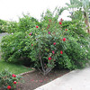 The bush behind this rosebush (I think it's related to the Hibiscus?) is out of control and needs to be pruned.