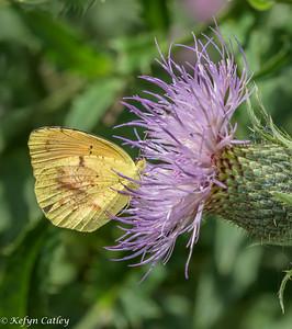 LEPIDOPTERA: Pieridae: Pyrisitia lisa, small sulphur
