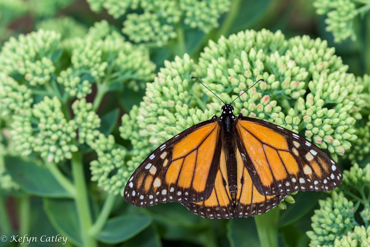 LEPIDOPTERA: Nymphalidae: Danainae: Danaus plexippus, monarch male