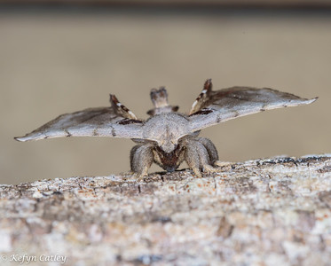 LEPIDOPTERA: Bombycidae: spotted apatelodes, Apatelodes torrefacta