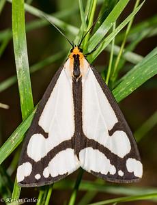 LEPIDOPTERA: Arctiidae: Haploa lecontei, Leconte's haploa moth