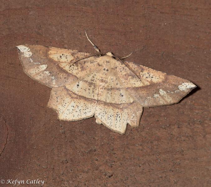 LEPIDOPTERA: Geometridae: Euchlaena amoenaria, deep yellow Euchlaena moth