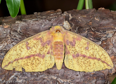 LEPIDOPTERA: Saturniidae: Eacles imperialis, imperial moth female