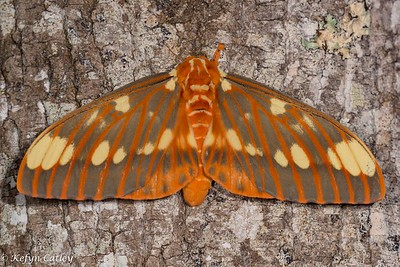 LEPIDOPTERA: Saturniidae:  regal silk moth, Citheronia regalis