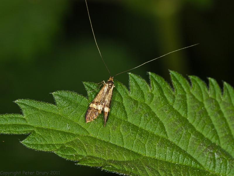 27 May 2011. Nemophora degeerella at Creech Wood. Copyright Peter Drury 2011