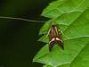 Nemophora degeerella (male). Copyright Peter Drury 2010