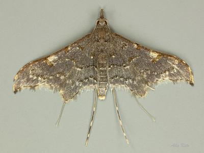 Euthrausta holophaea (Tineodidae)