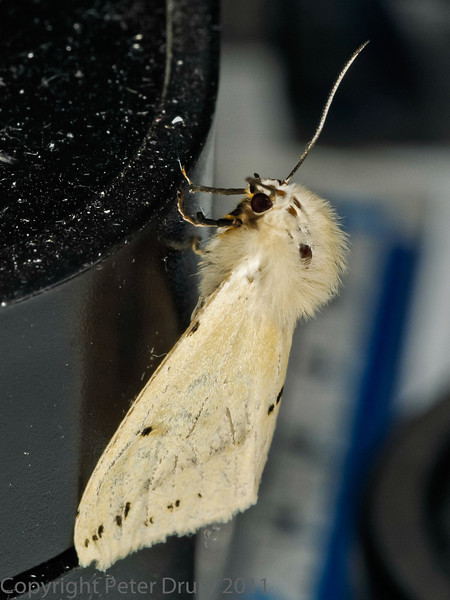 26 July 2011 Buff Ermine (Spilarctia luteum) at Widley
