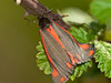 Cinnabar moth (Tyria jacobaeae). Copyright Peter Drury 2010