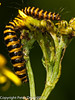 Cinnabar moth caterpillar (Tyria jacobaeae). Copyright Peter Drury 2010