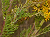 Cinnabar Moth Caterpillar (Tyria jacobaeae). Copyright 2009 Peter Drury