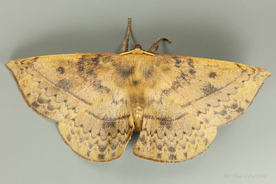 Anthela varia Walker, 1855 (Anthelidae)