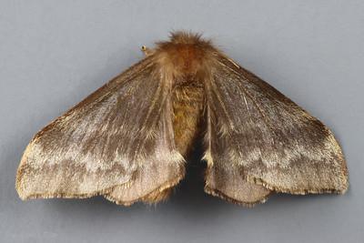 Eupterotidae Gallery