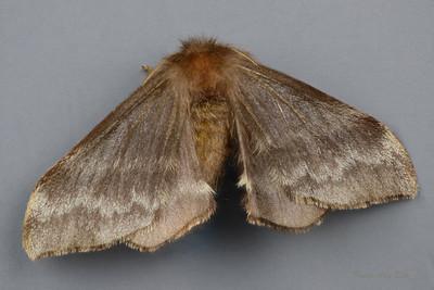 Panacela sp. Bardon (Eupterotidae