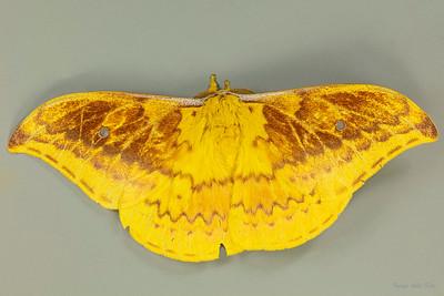 Syntherata janetta (Saturniidae)