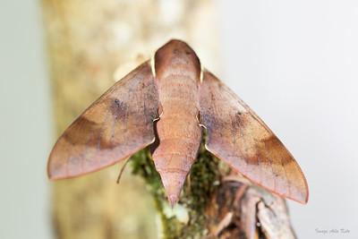 Gnathothlibus erotus (Sphingidae)