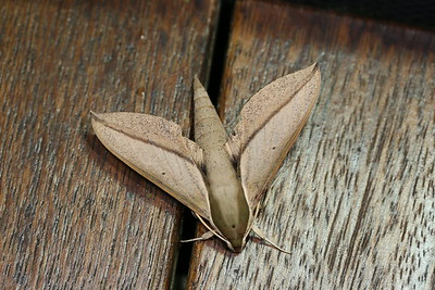 Theretra queenslandi (Sphingidae)