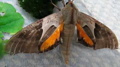Coequosa australasiae (Sphingidae)