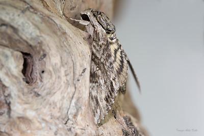 Psilogramma menephron (Sphingidae)