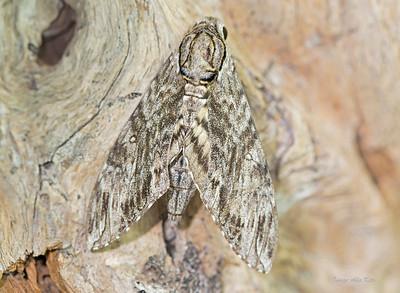 Agrius godarti (Sphingidae)