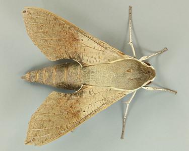 Hippotion scrofa (Sphingidae)