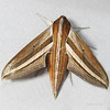 Theretra oldenlandiae (Sphingidae)