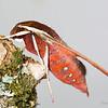 Gnathothlibus eras (Sphingidae)