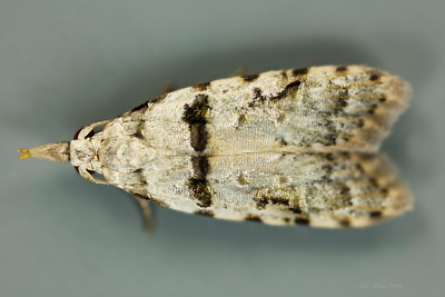 Coscinoptycha improbana Meyrick, 1881 (Carposinidae)