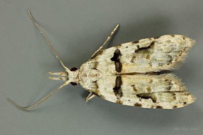 Carposinoidea